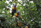 picture of lorikeets  - Pair of male and female Australian native Rosella birds Rainbow Lorikeets parrots sitting and eating apricots in tree - JPG