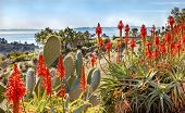 stock photo of prickly pears  - Prickly Pear Cactus Opuntua Ficus - JPG