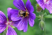 picture of geranium  - bee harvesting pollen on a geranium flower - JPG