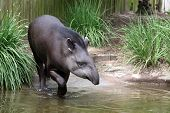 image of tapir  - Endanged Tapir of Brazil wading in water of a small pond - JPG