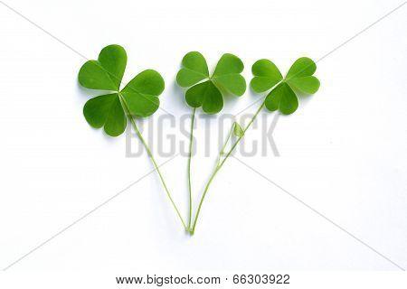 Green Three Leaf Clover's On White