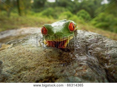 Red Eye Tree Frog, Costa Rica