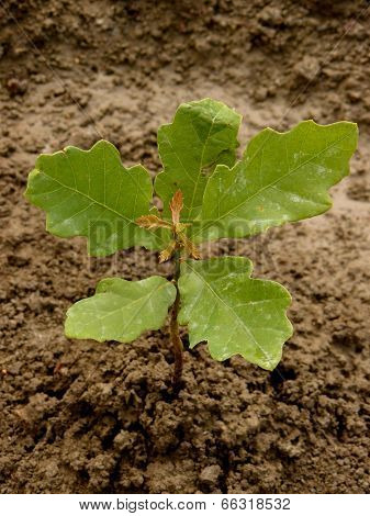 English (pedunculate) oak tree sapling five-six weeks from germination with second flush of leaves