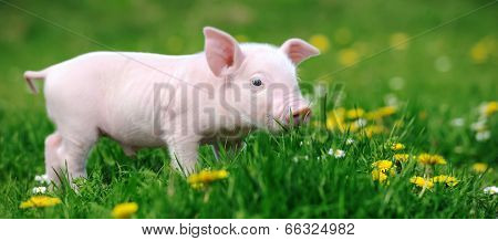 Young Pig In Grass
