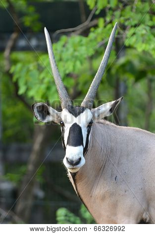 Oryx Or Gemsbok
