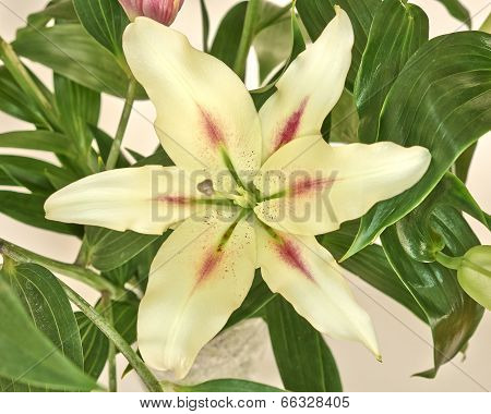 pale white lilium flower closeup