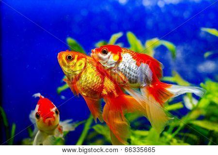 Beautiful Golden Aquarium Fish