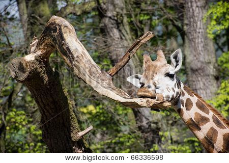 Rothschild's Giraffe Licking A Tree Branch