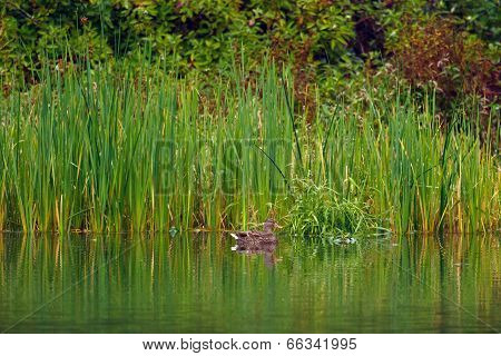 Duck By The Reeds