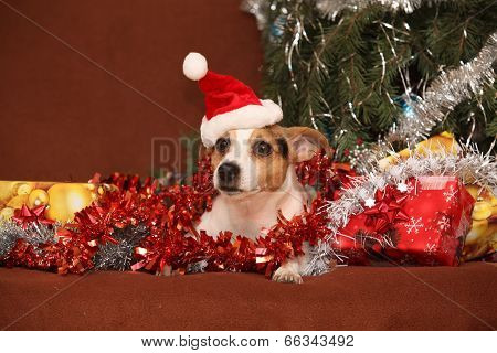 Gorgeous Jack Russell Terrier With Santa Hat In A Christmas