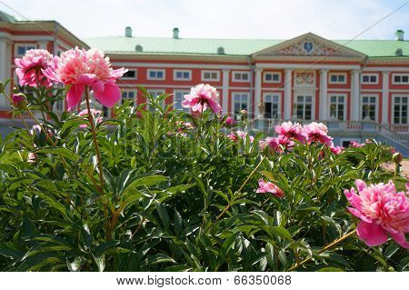Peonies Front Of The Palace (kuskovo Estate Near Moscow)