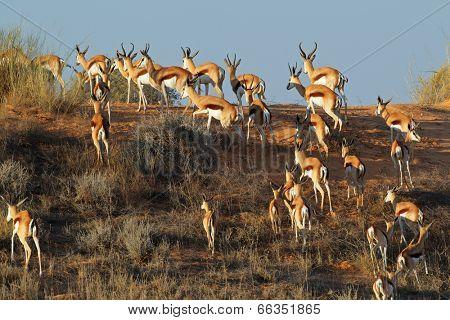 Springbok antelopes (Antidorcas marsupialis) on a sand dune, Kalahari desert, South Africa
