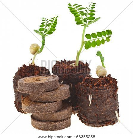 Growing seedlings in peat compressed tablet  isolated on white background