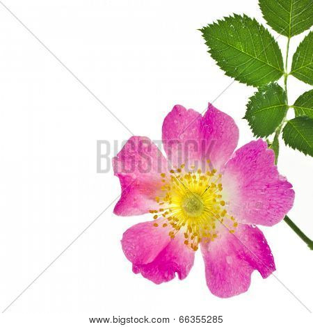 Border of wild  pink rose hip with water drops surface isolated on white background