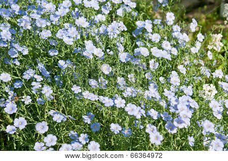 Linum flowers close up background