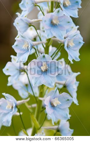 Delphinium flowers close up background