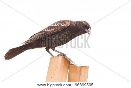 Immature male Agelaius phoeniceus, Red-Winged Blackbird with orange shoulders, isolated on white