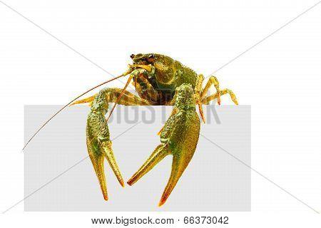 Big alive crayfish isolated on white