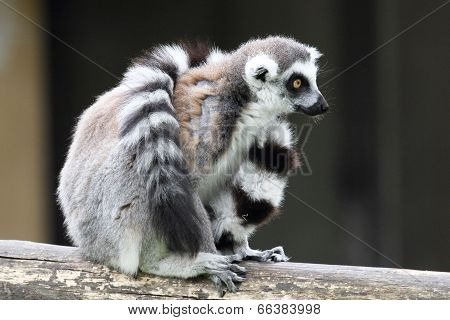 Ring-tailed Lemur Catta Sitting And Covering With Tail