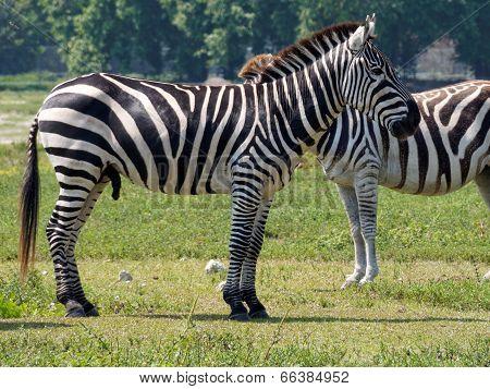 Male Grant's Zebra