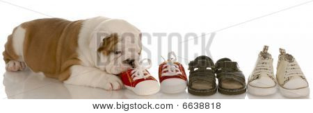 Bulldog Puppy Chewing A Line Of Shoes