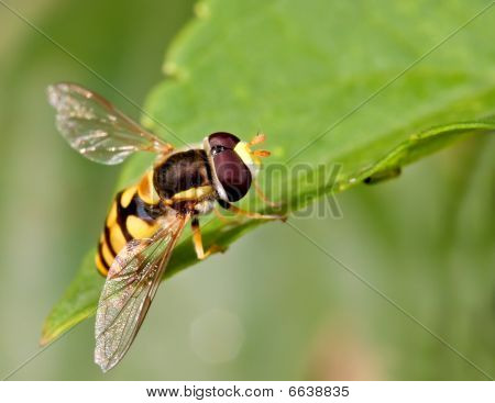 Hovefly