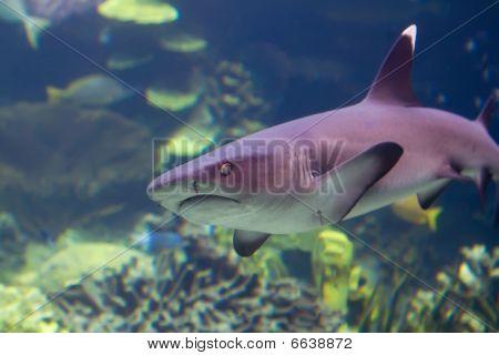 Shark Approaching Underwater