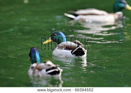 Two Males Mallard  Ducks