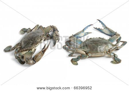 Two blue crabs on white background