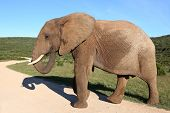 stock photo of tusks  - Large male elephant with wrinkly skin and white tusks - JPG