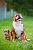 stock photo of staffordshire-terrier  - staffordshire bull terrier dog outdoors in summer - JPG