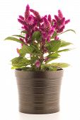 foto of celosia  - A potted cockscomb celosia spicata plant on a white background - JPG