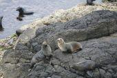 New Zealand Fur Seals On The Rocks