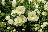 picture of climbing rose  - white roses plant in garden                       - JPG