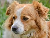 pic of cross-breeding  - Portrait of a cute cross breed dog - JPG