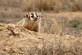 foto of badger  - An American Badger looking out from its den in northern Colorado - JPG