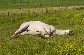 picture of tallgrass  - White horse lying on its side Strong City Kansas - JPG