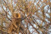 stock photo of semi-arid  - Closeup view of nest of the sociable weaver  - JPG