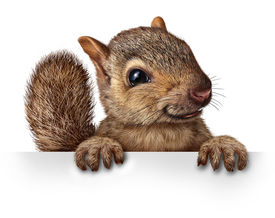 picture of furry animal  - Cute squirrel hanging over a blank banner sign with copy space as a friendly cute furry rodent character gripping a billboard signage for advertising and marketing as a message from animal wildlife or backyard critters - JPG