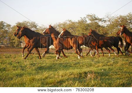 Herd galloping in autumn field when the sun goes down