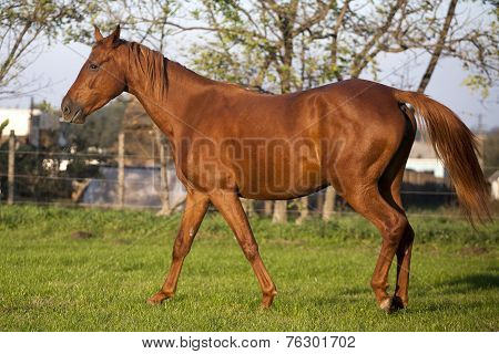 Peaceful young pregnant mare galloping in summer corral