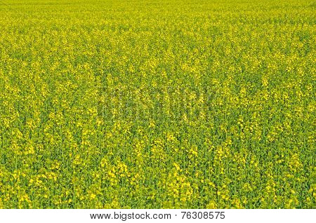 Colza Spring