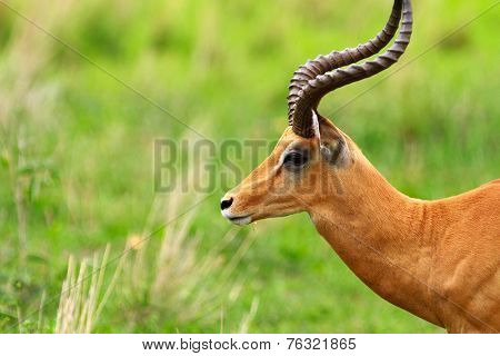 Male impala antilope in Tarangire national park in Tanzania Africa