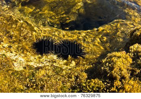 Sea urchins at rocks under water