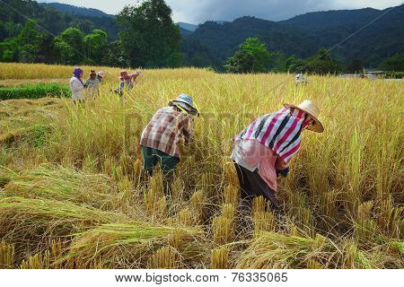 Harvest Field Thailand
