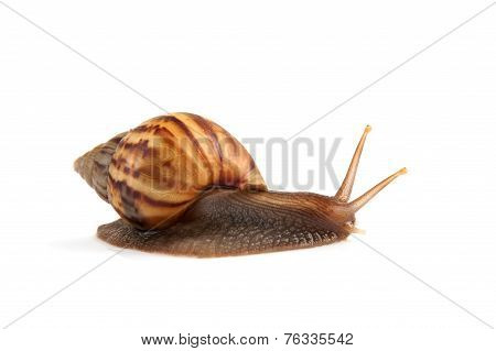 Garden snail isolated on white background.
