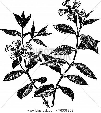 Periwinkle Or Vinca Minor, Vintage Engraving
