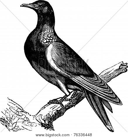 Common Wood Pigeon (columba Palumbus) Or Culver, Vintage Engraving.
