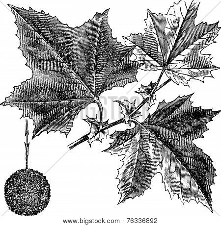 American Sycamore Or Platanus Occidentalis, Vintage Engraving