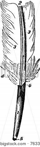 Feather, Vintage Engraving